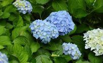 花团锦簇的蓝色琼花