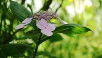盛开的淡紫色琼花特写