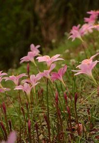 娇柔盛开的唯美粉色葱兰花丛