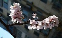 粉色盛开的桃花特写
