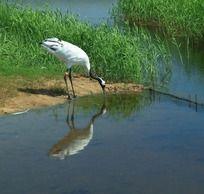 水边喝水的丹顶鹤