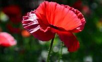 虞美人盛开的红色花瓣