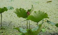 花叶相依的莲池荷景