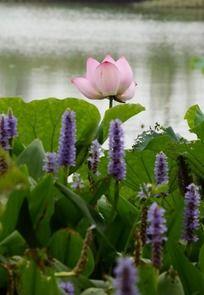 梭鱼草丛中盛开的淡雅荷花