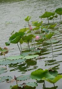 红花绿影 出水芙蓉