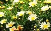 黄菊花盛开