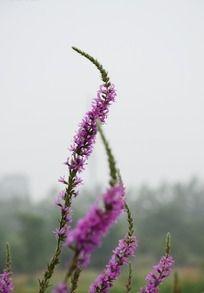 艳丽开放的紫色千屈菜