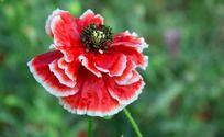 虞美人怒放的红色花瓣