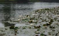 风景如画的荷塘睡莲