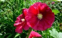 木槿花的红色花瓣和黄色花蕊