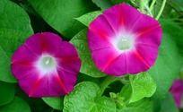 绿色叶子和紫色喇叭花