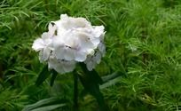 灿烂夺目的白色石竹花