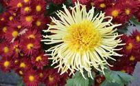 红色菊花中盛天的一朵黄菊花图片