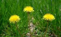 绿草和三朵黄色的野花