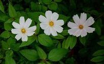 绿色叶子和白色的波斯菊
