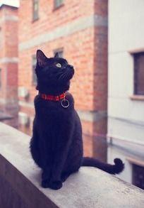 气质黑色猫咪