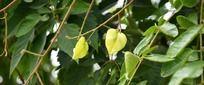 树枝上的栾树果实