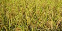 成熟的稻田