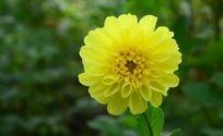 美丽的黄色大丽菊