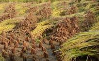 收割的稻田