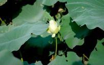 白荷花花蕾