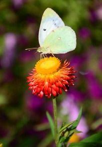 麦杆菊上的白色蝴蝶