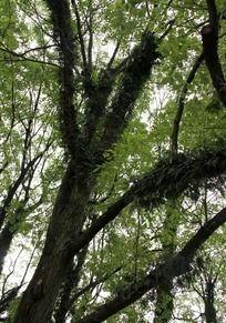 樟树树干上长草