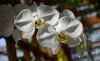 白色的蝴蝶兰高清图