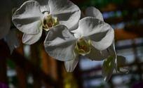 绽放的白色地蝴蝶兰