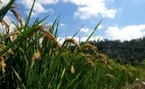 丰收的晚稻