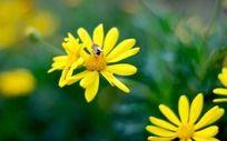 小黄花上的蜜蜂