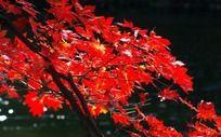红色枫树枝