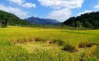 开始收割的稻田