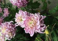 唯美的粉色菊花