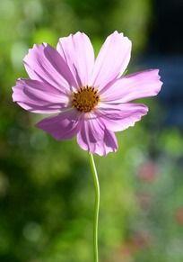 粉色波斯菊花朵