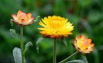 开放的麦杆菊花朵