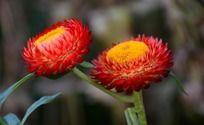 高清红色麦秆菊