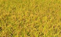 金黄的稻谷