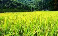 金秋金黄稻田