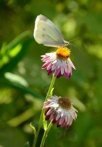 停留在麦秆菊上的白色蝴蝶