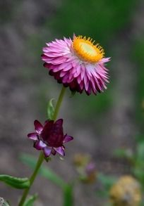 美丽的粉色麦秆菊