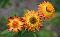 争芳斗艳的黄色麦秆菊