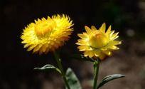 唯美有的黄色麦秆菊
