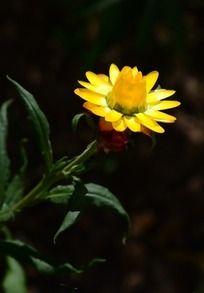 鲜艳的黄色麦秆菊