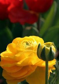 黄玫瑰花蕾