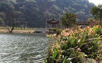 湖畔美人蕉花丛