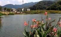 天童景区童子湖畔的美人蕉