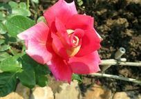 盛开的黄心红玫瑰