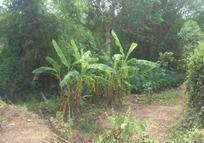 沐浴阳光的香蕉树