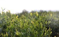 成片的绿色茶叶